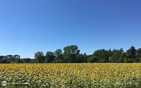 青空とひまわり畑の背景