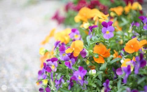 癒しの庭より、色鮮やかなパンジー背景